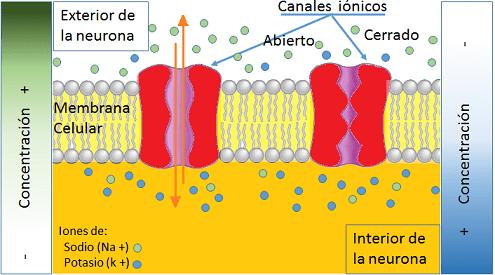 Estímulos electroquímicos, canales iónicos